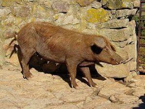 Cerdo ibérico rubio andaluz