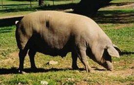 Cerdo ibérico entrepelado