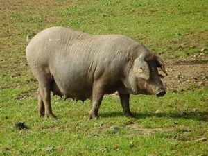 Cerdo ibérico torbiscal