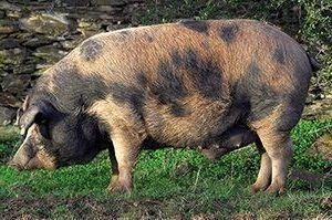 Cerdo ibérico manchado Jabugo