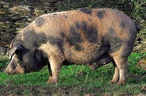 Cerdo Ibérico Manchado de Jabugo